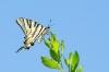 papillon-2