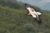 alb1304-percnoptere-04