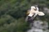 alb1323-percnoptere-08