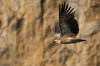 vautou-fauve--10