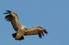 vautou-fauve--8