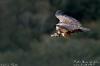 vautour-F_02