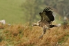 vautour-F_03