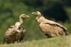 vautour-fauve-3