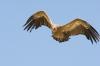 vautour-fauve-4