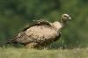 vautour-fauve-6