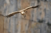 vautour_V800_03_03_11