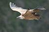 vautour_V800_08_03_11