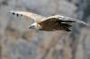 vautour_V800_26_03_11