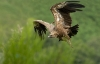 vautour_fauv_18