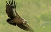 vautour_fauv_19